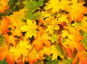 Leaves, Maple, Fall, October